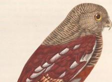 Glaucidium_castanopterum_1838