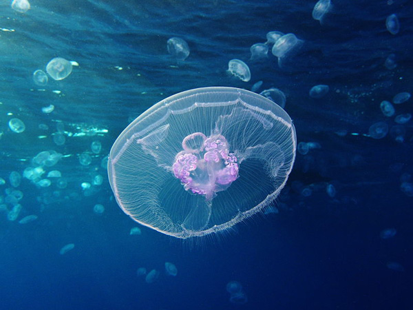 Moon_jellyfish_at_Gota_Sagher