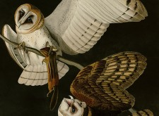 'The Barn Owl', 'The Barn Owl (2)', 'The Elf Owl' and 'The Flammulated Owl' by Jeredith Merrin