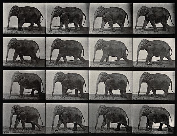 An_elephant_walking._Photogravure_after_Eadweard_Muybridge,_Wellcome_V0048775 (1)