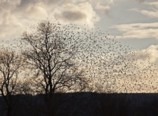 'What about the starlings?'