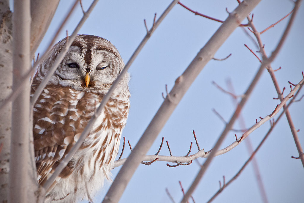 1024px-Barred-Owl_9052
