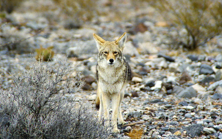 Contesting Coyote Contests