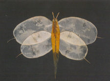 Pia Ghosh-Roy: The Wingspan of a Moth