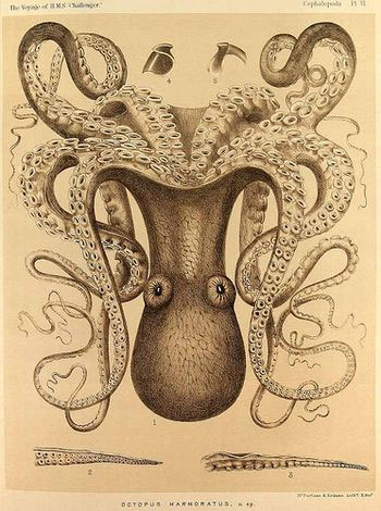 Mighty Morphing Cephalopods