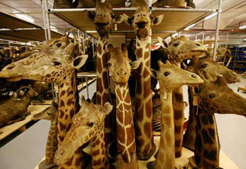 Mathematicians are Giraffe Hunters by Barry Mazur